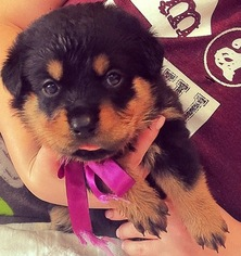 View Ad Rottweiler Puppy For Sale Texas Garland Usa