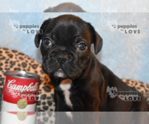 French Bulldog Puppy for Sale in SANGER, Texas USA
