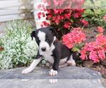 Small #3 Boston Terrier Mix