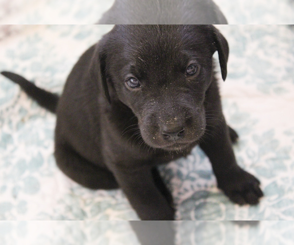 Medium Photo #5 Labrador Retriever Puppy For Sale in BOISE, ID, USA