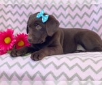 Small #12 Labrador Retriever
