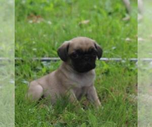 Pug Dog for Adoption in FINLAYSON, Minnesota USA