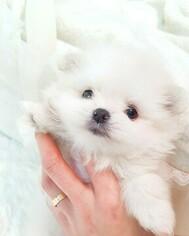Pomeranian Puppy for sale in Hwaseong-si, Gyeonggi-do, Korea, South