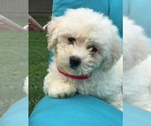 Bichpoo Puppy for Sale in BOWLING GREEN, Kentucky USA