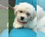 Puppy 2 Bichpoo