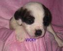 Saint Bernard Puppy For Sale in ESSEX, IA, USA