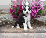 Siberian Husky Puppy For Sale in UNION CITY, GA, USA