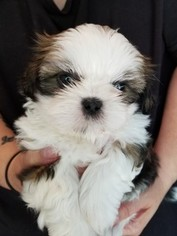 Shih Tzu Puppy For Sale in OLYMPIA, WA, USA