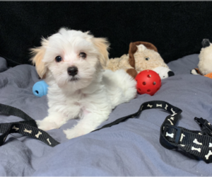 Maltese Puppy for sale in RALEIGH, NC, USA