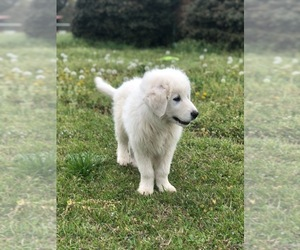 Maremma Sheepdog Puppy for Sale in SALLISAW, Oklahoma USA