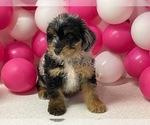 Puppy 8 Aussiedoodle Miniature