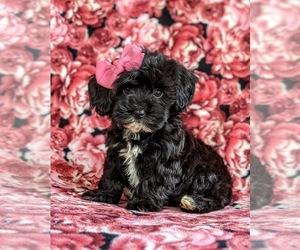 Havanese-Poodle (Toy) Mix Dog for Adoption in CHRISTIANA, Pennsylvania USA