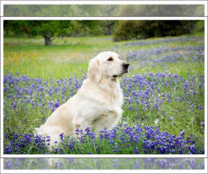 English Cream Golden Retriever Puppy for Sale in REDDING, California USA