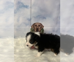 Miniature American Shepherd Puppy for sale in EVANS, CO, USA