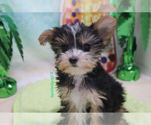 Morkie Puppy for Sale in LAS VEGAS, Nevada USA