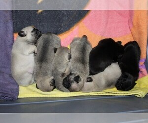 Pug Puppy for sale in INGOMAR, MS, USA