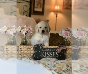Labradoodle Puppy for Sale in GLENDALE, California USA