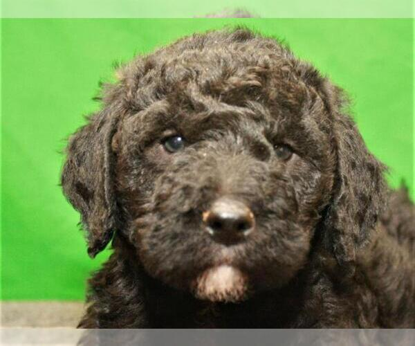 Medium Photo #6 Labradoodle Puppy For Sale in SHAWNEE, OK, USA