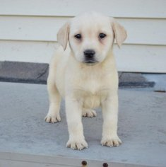 Labrador Retriever Dog For Adoption in PALM BEACH GARDENS, FL, USA
