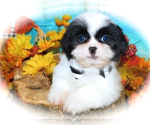 Shih Tzu-Shih-Poo Mix Puppy for Sale in HAMMOND, Indiana USA