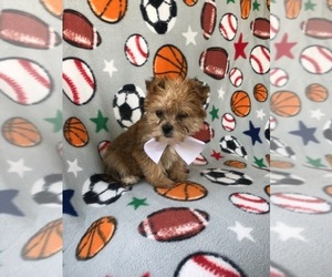 Morkie Puppy for sale in LAKELAND, FL, USA