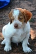Brittany Puppy For Sale in MUSTANG, OK, USA