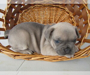 French Bulldog Puppy for sale in COLUMBUS, OH, USA