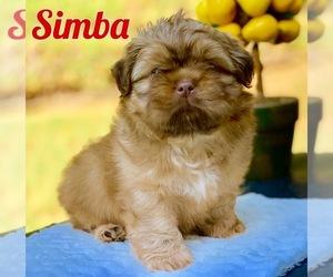 Shih Tzu Puppy for Sale in BUFORD, Georgia USA