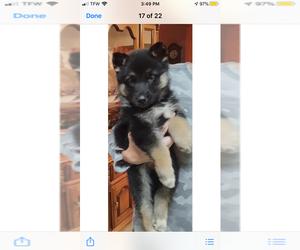 German Shepherd Dog-Siberian Husky Mix Puppy for sale in NEOSHO, MO, USA