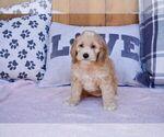 Puppy 2 Cockapoo-Poodle (Miniature) Mix