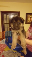 German Shepherd Dog Puppy For Sale in STAFFORD, VA