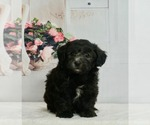 Small #3 Maltipoo-Poodle (Toy) Mix