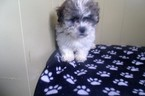 Zuchon Puppy For Sale in PATERSON, NJ