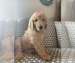 Small Goldendoodle Mix