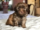 Havanese Puppy For Sale in CROWLEY, TX, USA
