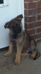German Shepherd Dog Puppy for sale in ELBERTON, GA, USA