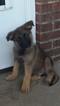 German Shepherd Dog Puppy For Sale in ELBERTON, GA, USA