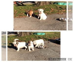 English Bulldog Puppy for sale in MILLBACH, PA, USA