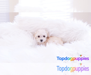 Maltipoo Puppy for Sale in FULLERTON, California USA
