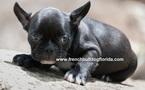 French Bullog Puppies Pet name Tom2
