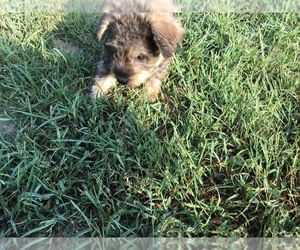 Schnoodle (Miniature) Puppy for Sale in AVA, Missouri USA