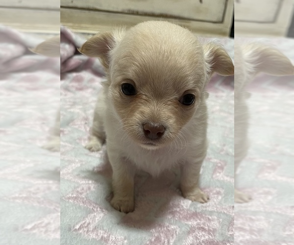Medium Photo #3 Chihuahua Puppy For Sale in NEVADA, TX, USA
