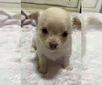 Small Photo #3 Chihuahua Puppy For Sale in NEVADA, TX, USA