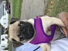 Pug Puppy For Sale in OXFORD, OH, USA
