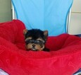 Yorkshire Terrier Puppy For Sale in SANTA CLARITA, CA, USA