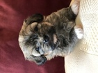 Havanese Puppy For Sale in LAKE ORION, Michigan,