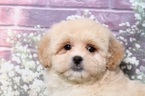 Small #2 Lhasa-Poo