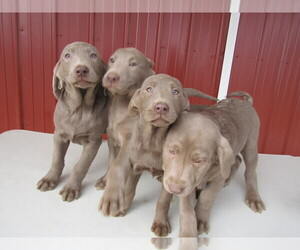 Labrador Retriever Puppy for sale in MISHAWAKA, IN, USA
