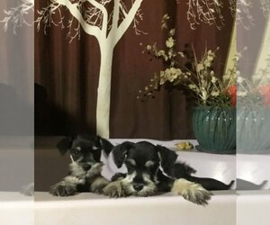 Schnauzer (Miniature) Puppy for Sale in AGUANGA, California USA