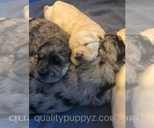 Goldendoodle Puppy for Sale in ANZA, California USA